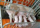 绵羊养殖围栏牲畜秤 绵羊动物电子秤